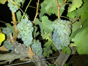 Raïm de Sauvignon Blanc en plena nit